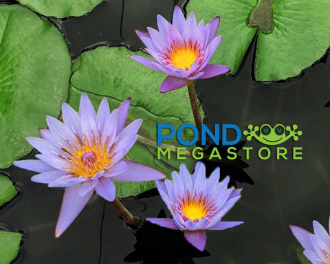 Margaret Mary Water Lily <br> Day blooming <br> Small-Medium Water Lily <br> Call for Availability until spring 2020