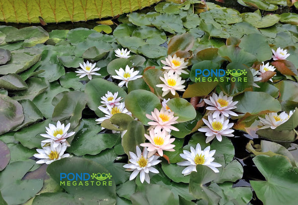 Marliac Carnea Water Lily <br> Small-Medium Hardy Water Lily <br>