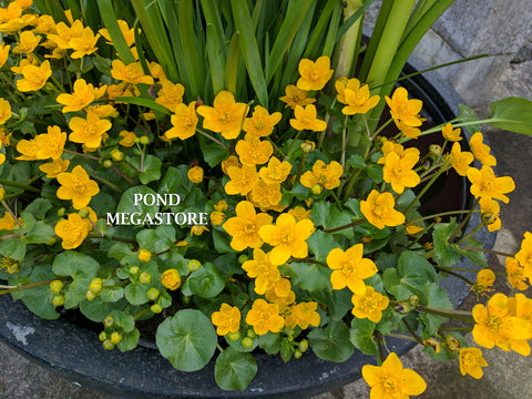 Marsh Marigold (Caltha Palustris) <br> 1st to bloom in spring! Weeks of flowers!
