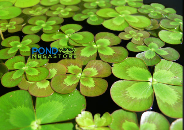 Four Leaf Clover <br> (Marsilea Mutica) <br> Live Plants! <br> Plants Available Spring 2021