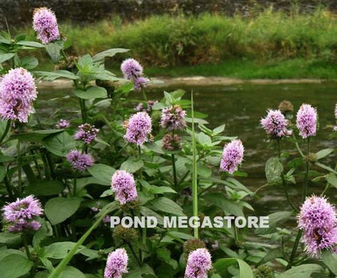 Aquatic Mint <br> (Mentha Aquatica) <br>
