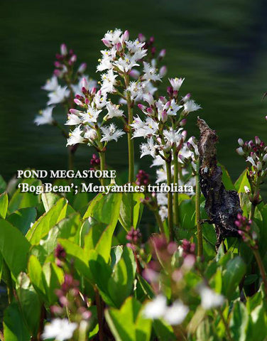 Bog Bean (Menyanthes Trifoliata) <br> Early Spring Bloomer <br>