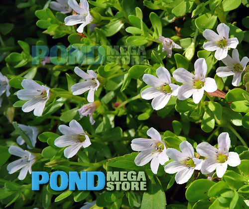 Moneywort (Bacopa Monnieri) <br> Sold by the bunch 6-8 stems each <br> Grows submerged or emerging/shallow