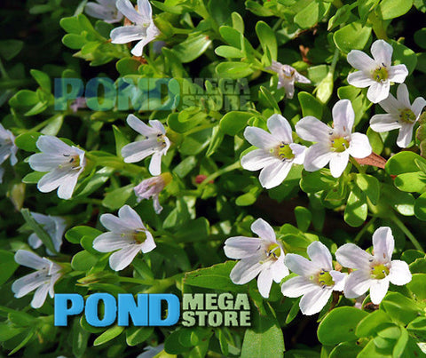 Moneywort (Bacopa Monnieri) <br> Sold by the bunch 5-7 stems <br> Grows submerged or emerging/shallow