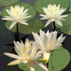Moondance Water Lily <br> Large Hardy Water Lily  <br>