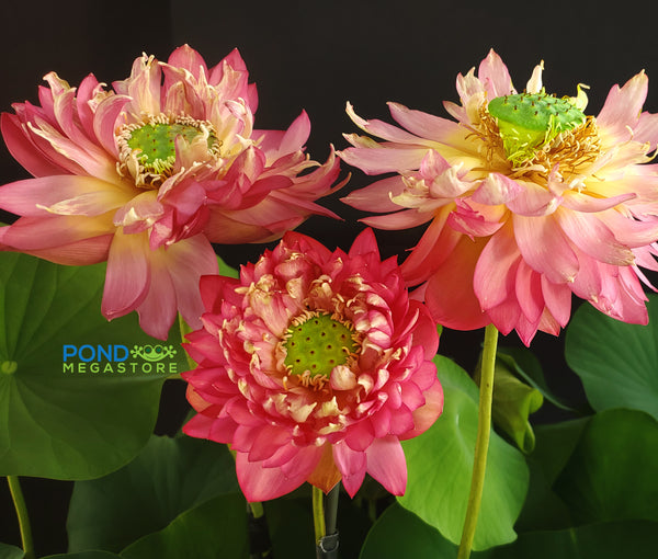 Moonlight Over Qinhuai Lotus  <br>  Tall  <br>  Unique and Unusual Blooms!  <BR>RESERVE SACRED LOTUS in TODAY for spring 2021!