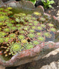 Mosaic Plant (Ludwigia sedioides) <br> Temporarily out of stock... more being made