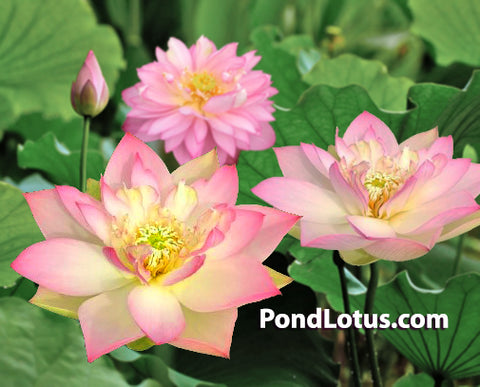 Elegance Lotus <br> Dwarf-Medium <br> Often Multiple Blooms! <BR>RESERVE SACRED LOTUS in TODAY for spring 2021!