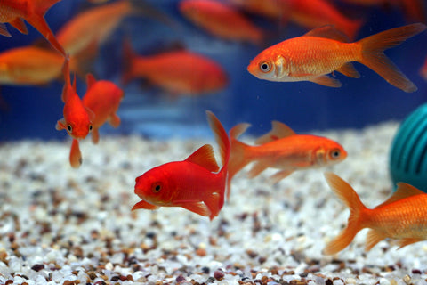 Common Goldfish (3 inch) (Carassius Auratus)