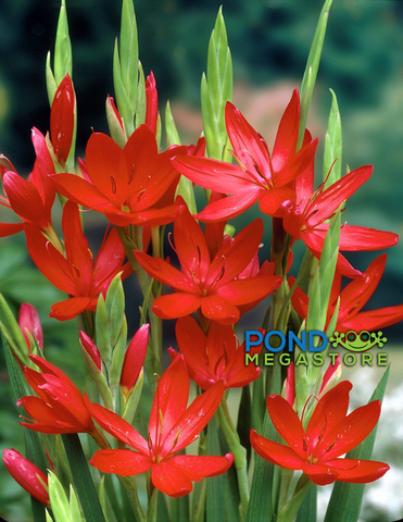Oregon Sunset River Lily <br> (Schizostylis coccinea) 'River Lily'