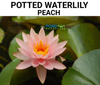 Pre-Potted Peach Waterlily  <br>  Pre-Potted, Pre-Grown <br> Plants Available Spring 2021