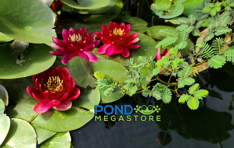Perry's Baby Red Water Lily <br> Small Hardy Water Lily <br> Heavy Bloomer! <br> Plants Available Spring 2021