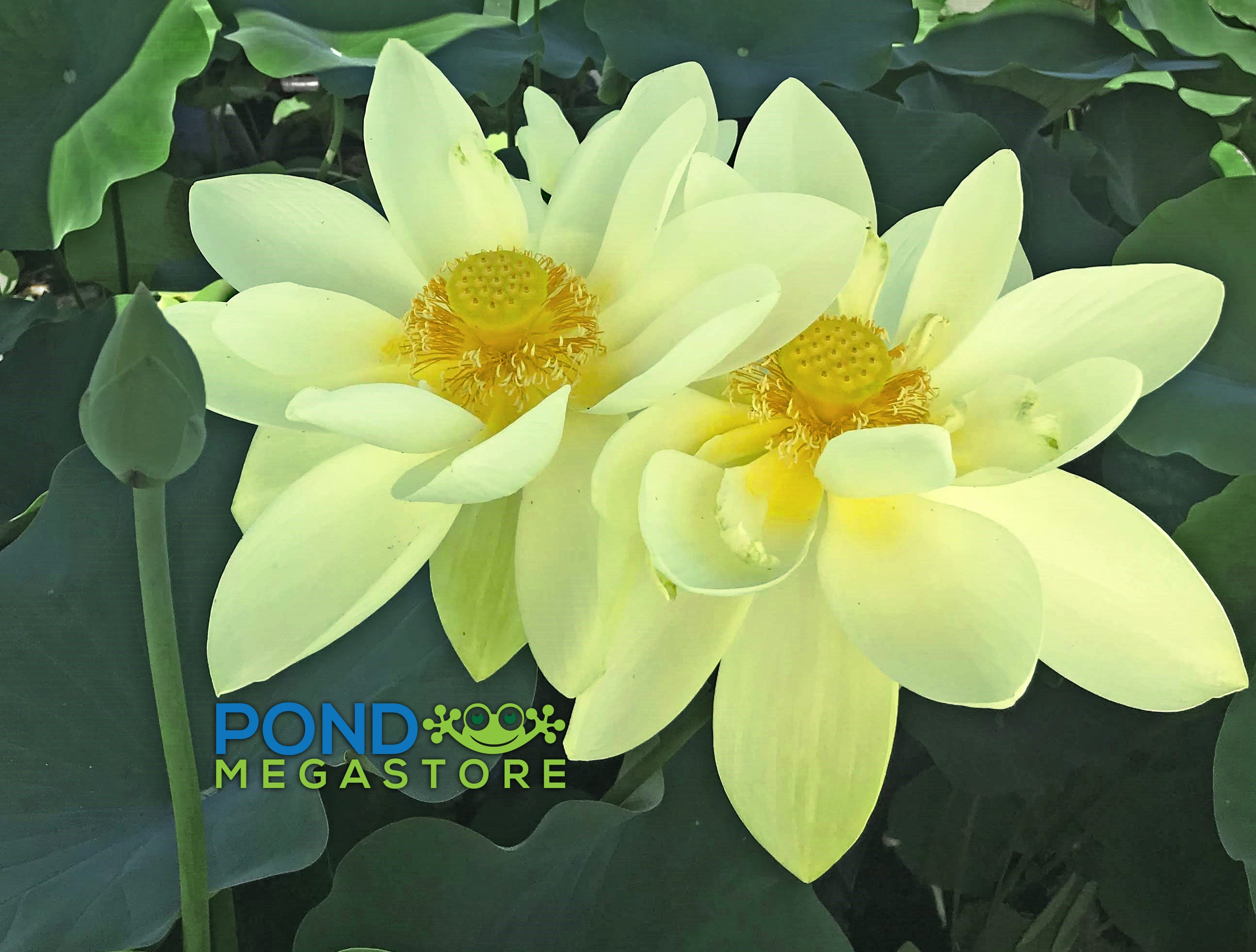Yellow Lotus For Sale Pondmegastore