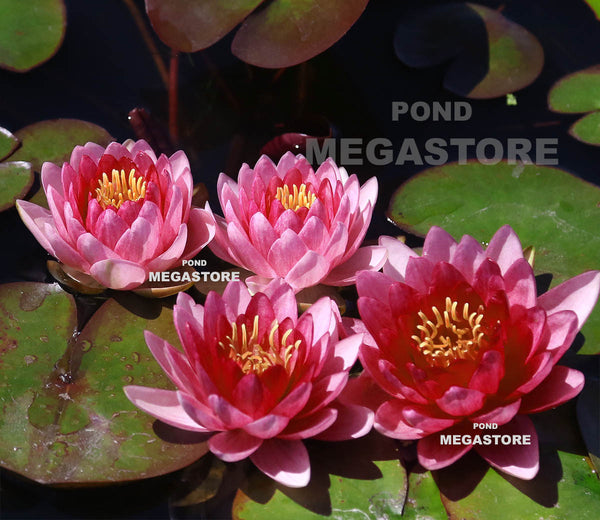 Perry's Super Red Water Lily <br> Medium-Large Hardy Water Lily <br>
