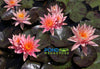 Prakaisad Water Lily, Heavy Bloomer! <br> Medium Hardy Water Lily <br> Ships Spring 2019!