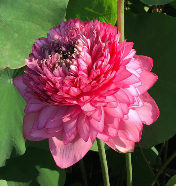 Ultimate 1000 Petal Lotus <br> Tall  <br> Lush, rich, full blooms! <BR>RESERVE TODAY for spring 2021!       LP8