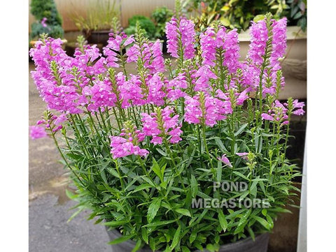 Obedient Flower  <br>  Physostegia Virginiana,  <br> (Physostegia leptophyllia)