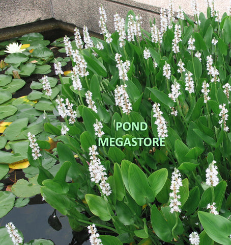 White Pickerel Rush <br> (Pickerel Cordata Alba) <br> Beauty & erosion control