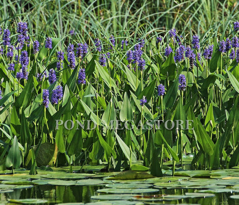 Pickerel Rush (Pontederia Cordata) <br> Blooms early summer into fall!
