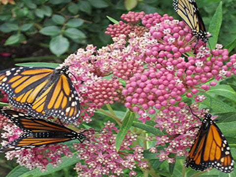 Pink Butterfly Flower <br> (Asclepias incarnata) <br> Aquatic Milkweed<br> BACK IN STOCK MAY 14th 2021