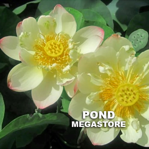 Pink Butterfly Lotus (Die Fen)  <br>  Bowl-Dwarf-Medium  <br>  Pink kissed petal tips on this radiant lotus! <BR> Reserve Now for Spring 2020 Delivery!