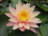 Pink Grapefruit Waterlily <br>  Large Waterlily