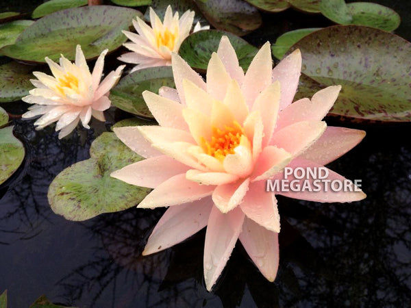Pink Lemonade Waterlily