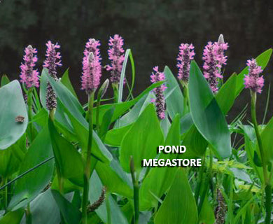 Pink Pickerel Rush (Pickerelweed) 'Pink Pons'