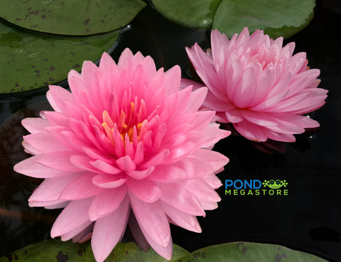 Pink Pom Pom Water Lily <br> Large Hardy Water Lily <br>