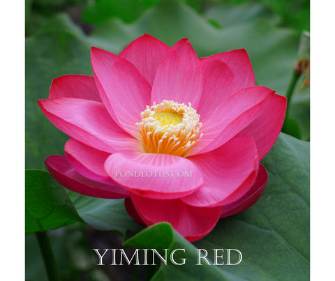 Chinese Yiming Red Lotus <br> Tall <br> Heavy bloomer!  <BR>RESERVE SACRED LOTUS in OCTOBER for spring 2021!