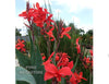 Longwood 'Endeavor' Red <br> Live plants, not bulbs
