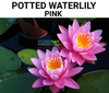Pre-Potted Pink Waterlily  <br>  Pre-Potted Pre-Grown  <br> Plants Available Spring 2021