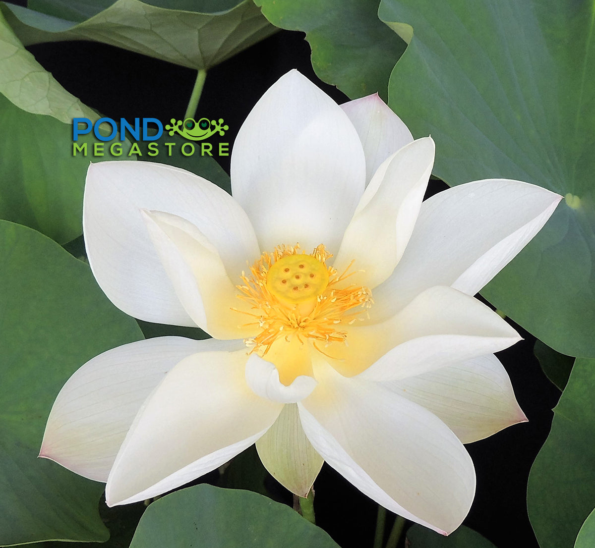White Lotus Flowers Pondmegastore Waterlilies Pond Plants Lotus