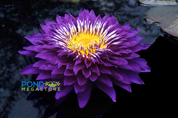 Purple Passion Water Lily <br> Large Water Lily <br> Incredible Large Flowers!