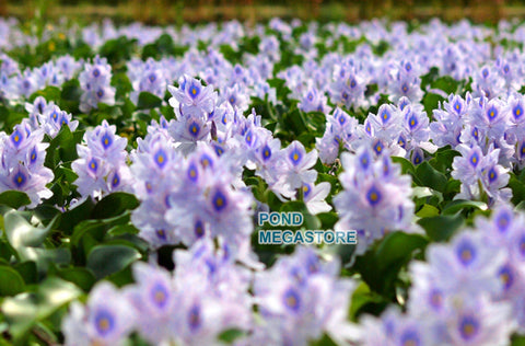 Water Hyacinth (Eichornia Crassipies) <br> Our most popular Floating Pond Plant <br> Live pond plants to your door!