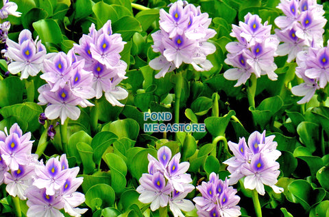 Water Hyacinth (Eichornia Crassipies) <br> (Minimum 3)