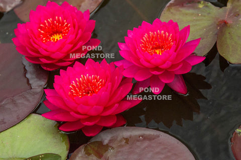 Razzberry Waterlily <br> Large Hardy Water Lily <br>