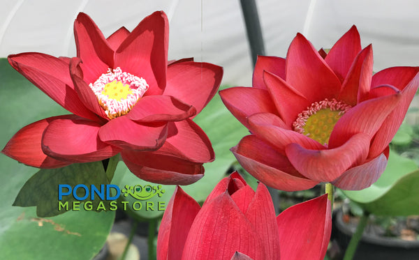 Red Beijing Lotus <br>  'Zhong Guo Hong Beijing' <br> Brilliant Red, closes early in the day*