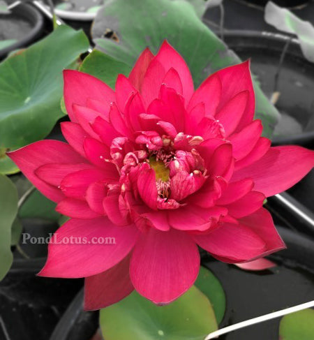 Red Dragonfly Lotus 14  <br> 'Hongqingting 14' <Br> Brilliant Red!
