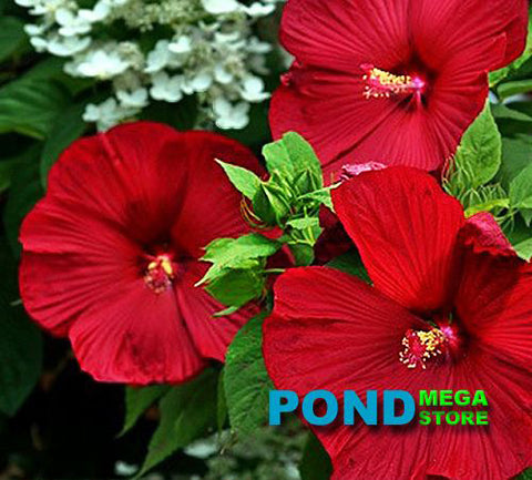Luna Red Hibiscus (Moscheutos) <br> Winter Hardy to minus 30°F