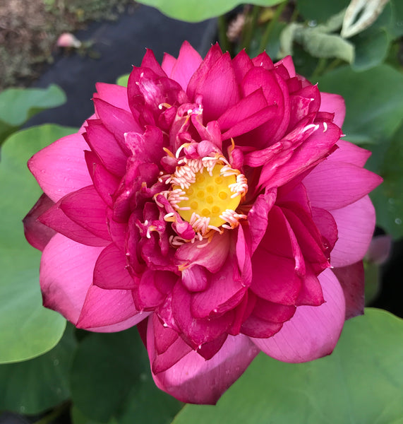 Chinese Red Jinggangshen Lotus (Zhong Guo Hong Jing Gang Shen)  <br>  Tall  <br>  Brilliant-Red Heavy Bloomer!  <BR>  SOLD OUT FOR 2020
