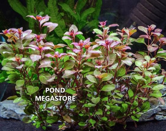 Red Ludwigia Repens<br> Oxygenating Pond Plants <br> Cleans & Filters Water!