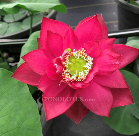 Chinese Red Shanghai Lotus <br> Tall - Zac's Top 10 Selection for 2021! <BR> Reserve Now for Spring 2021!          LP2