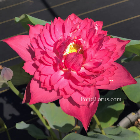 Chinese Red Silk Lotus <br>  bowl    <br>  Easy for Beginners, Brilliant Red! <BR> Reserve Sacred Lotus in OCTOBER for spring 2021!