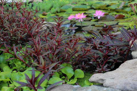 Red Star Oxygentor<br> Excellent Tadpole Food! <br> Live pond plants to your door! <br> Plants Available Spring 2021