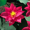 Chinese Red Sun 14B Lotus <br> Dwarf   <br>    Very Red! Heavy Bloomer!  <BR>RESERVE SACRED LOTUS in OCTOBER for spring 2021!