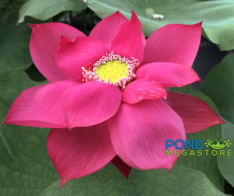 Chinese Red Sun Lotus <br> Heavy Bloomer! <br> Ships Spring 2019!