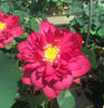 Red Tree Peony Lotus   <br>  Medium <br> Brilliant Red! Always a customer favorite! <BR>