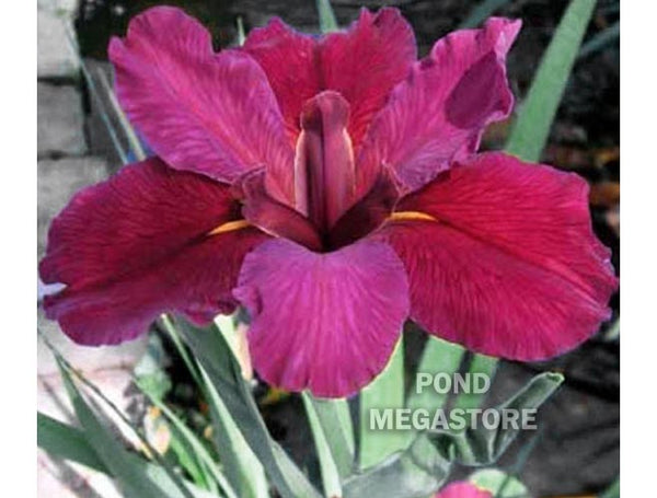 Red Velvet Elvis <br> Louisiana Bog Iris