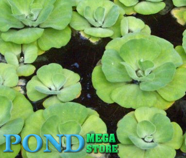 Blue Cloud Rosette Water Lettuce<br> Fast spreading <br> Prettiest Water Lettuce!